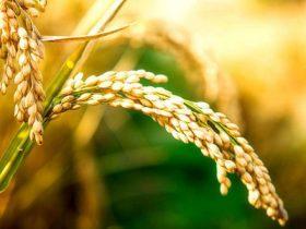 """围绕""""粮食荆州,走向全国""""的战略目标, 努力促进公安县粮食产业发展"""